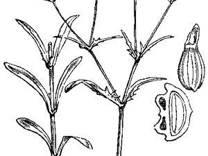 Narrowfruit Cornsalad