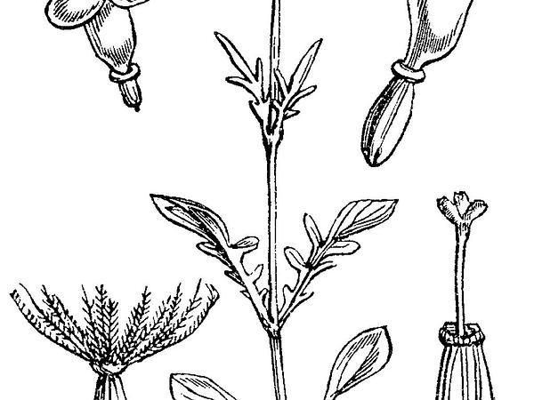 Marsh Valerian (Valeriana Dioica) https://www.sagebud.com/marsh-valerian-valeriana-dioica