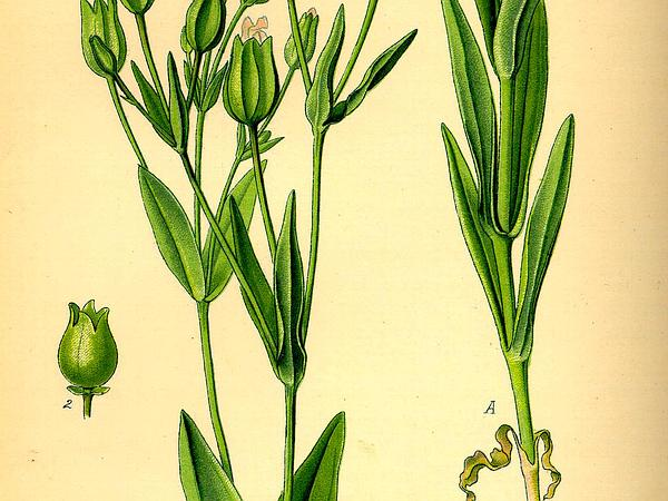 Cow Soapwort (Vaccaria Hispanica) https://www.sagebud.com/cow-soapwort-vaccaria-hispanica