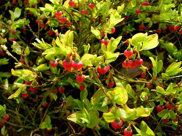 Whortleberry (Vaccinium Myrtillus) https://www.sagebud.com/whortleberry-vaccinium-myrtillus