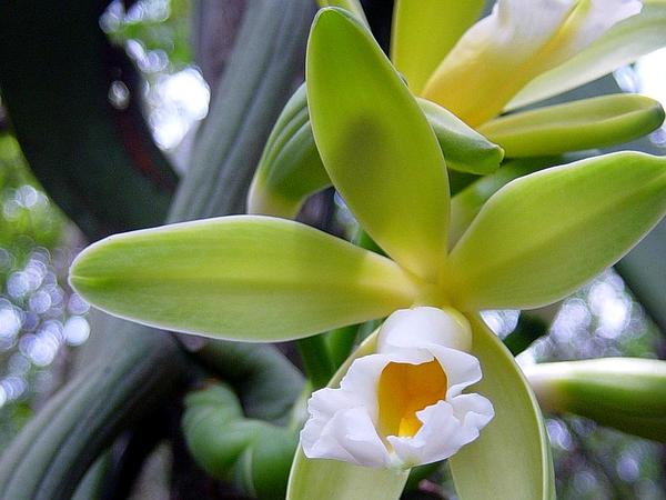 Vanilla (Vanilla) https://www.sagebud.com/vanilla-vanilla