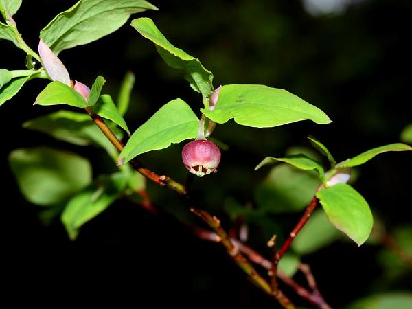 Oval-Leaf Blueberry (Vaccinium Ovalifolium) https://www.sagebud.com/oval-leaf-blueberry-vaccinium-ovalifolium