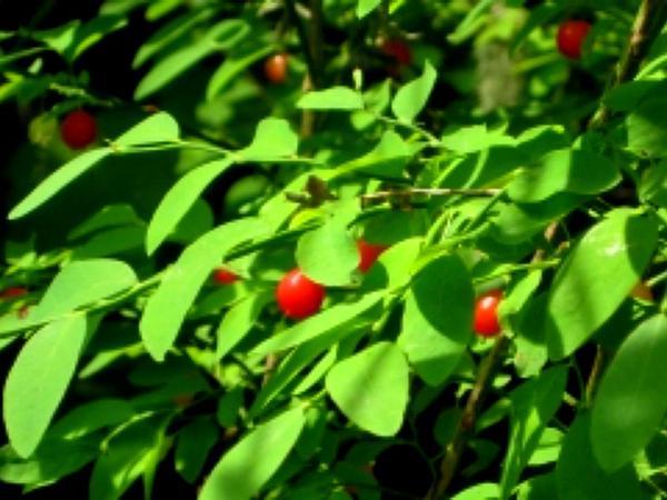 Red Huckleberry (Vaccinium Parvifolium) https://www.sagebud.com/red-huckleberry-vaccinium-parvifolium/