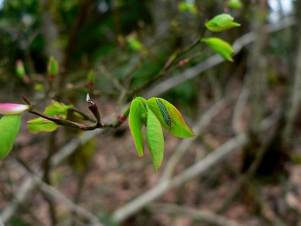 Red Huckleberry (Vaccinium Parvifolium) https://www.sagebud.com/red-huckleberry-vaccinium-parvifolium