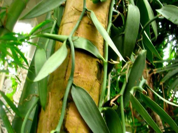 Vanilla (Vanilla Planifolia) https://www.sagebud.com/vanilla-vanilla-planifolia