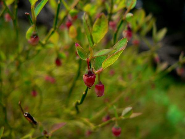 Grouse Whortleberry (Vaccinium Scoparium) https://www.sagebud.com/grouse-whortleberry-vaccinium-scoparium