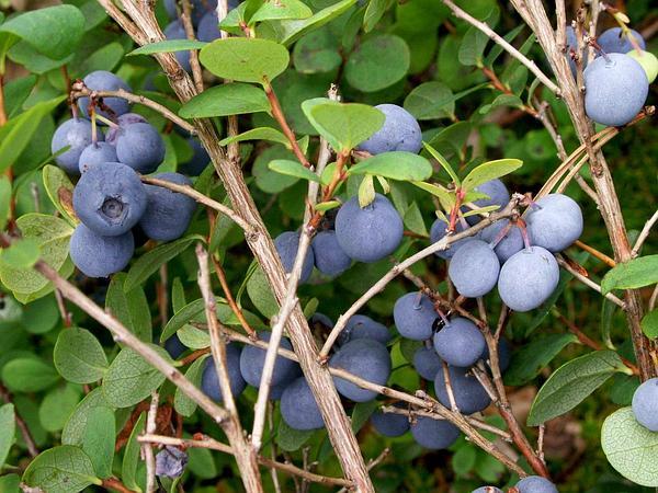 Bog Blueberry (Vaccinium Uliginosum) https://www.sagebud.com/bog-blueberry-vaccinium-uliginosum/