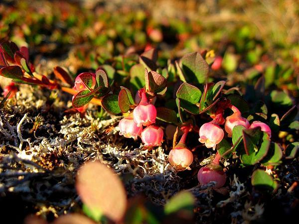 Bog Blueberry (Vaccinium Uliginosum) https://www.sagebud.com/bog-blueberry-vaccinium-uliginosum