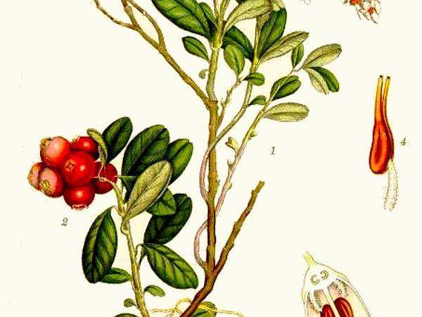 Lingonberry (Vaccinium Vitis-Idaea) https://www.sagebud.com/lingonberry-vaccinium-vitis-idaea