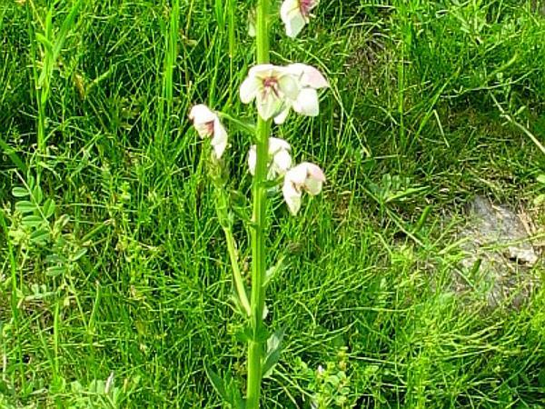 Moth Mullein (Verbascum Blattaria) https://www.sagebud.com/moth-mullein-verbascum-blattaria