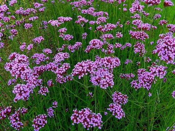 Purpletop Vervain (Verbena Bonariensis) https://www.sagebud.com/purpletop-vervain-verbena-bonariensis