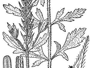 Bigbract Verbena