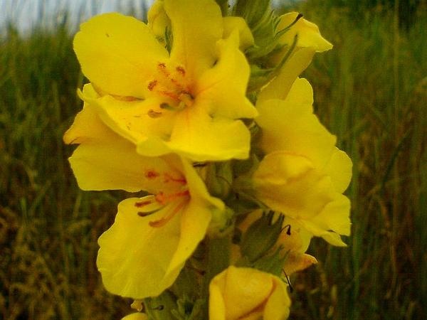 Denseflower Mullein (Verbascum Densiflorum) https://www.sagebud.com/denseflower-mullein-verbascum-densiflorum