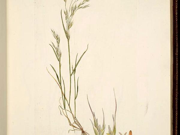 North Africa Grass (Ventenata Dubia) https://www.sagebud.com/north-africa-grass-ventenata-dubia