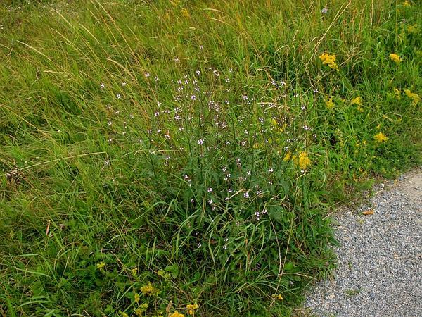 Herb Of The Cross (Verbena Officinalis) https://www.sagebud.com/herb-of-the-cross-verbena-officinalis