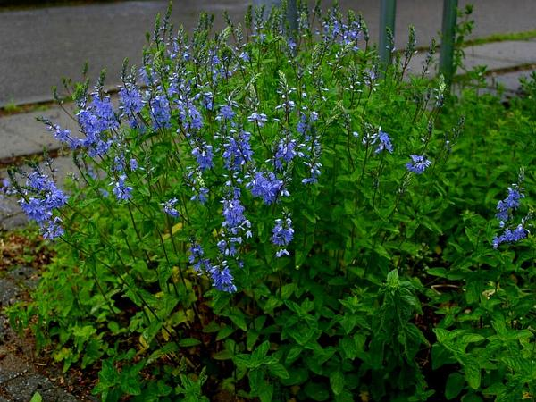 Common Gypsyweed (Veronica Officinalis) https://www.sagebud.com/common-gypsyweed-veronica-officinalis