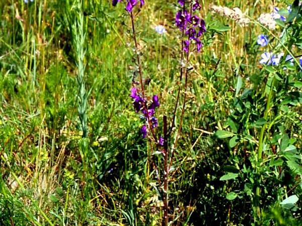 Purple Mullein (Verbascum Phoeniceum) https://www.sagebud.com/purple-mullein-verbascum-phoeniceum