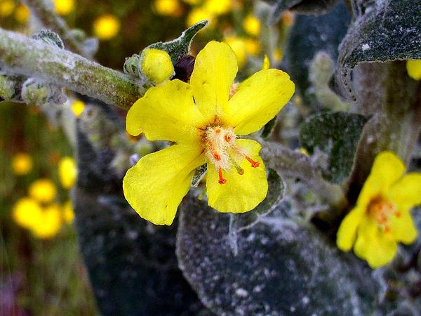 Broad-Leaf Mullein (Verbascum Pulverulentum) https://www.sagebud.com/broad-leaf-mullein-verbascum-pulverulentum