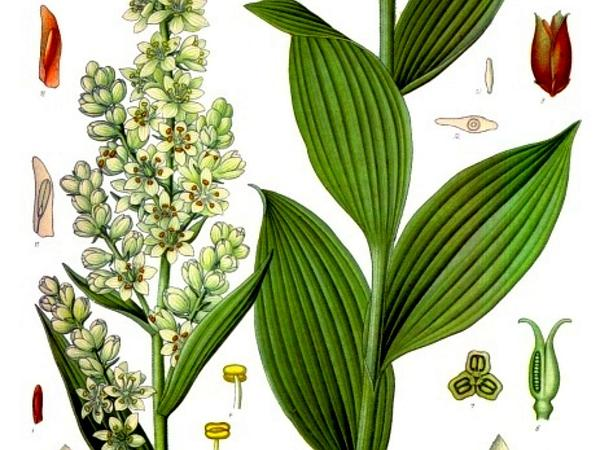 False Hellebore (Veratrum) https://www.sagebud.com/false-hellebore-veratrum/