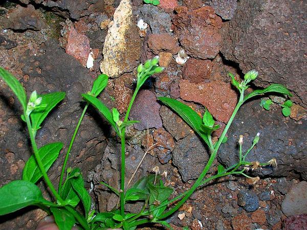 Ironweed (Vernonia) https://www.sagebud.com/ironweed-vernonia