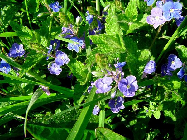 Speedwell (Veronica) https://www.sagebud.com/speedwell-veronica