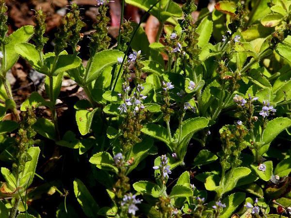 Thymeleaf Speedwell (Veronica Serpyllifolia) https://www.sagebud.com/thymeleaf-speedwell-veronica-serpyllifolia/