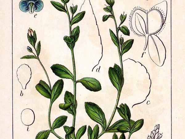 Thymeleaf Speedwell (Veronica Serpyllifolia) https://www.sagebud.com/thymeleaf-speedwell-veronica-serpyllifolia