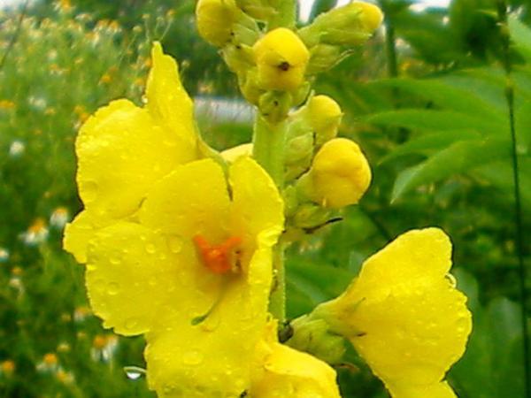 Common Mullein (Verbascum Thapsus) https://www.sagebud.com/common-mullein-verbascum-thapsus