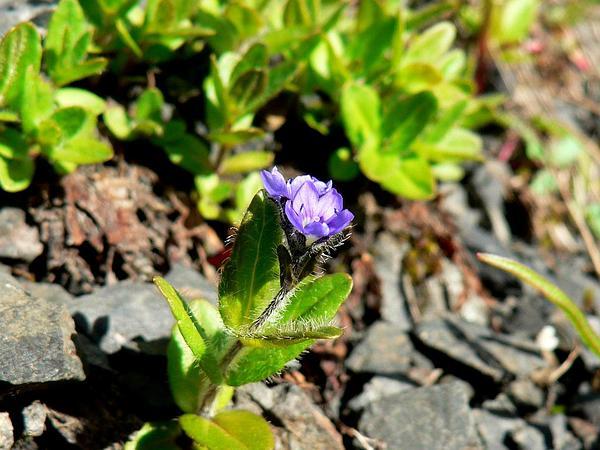 American Alpine Speedwell (Veronica Wormskjoldii) https://www.sagebud.com/american-alpine-speedwell-veronica-wormskjoldii/