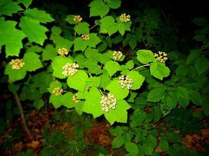 Mapleleaf Viburnum