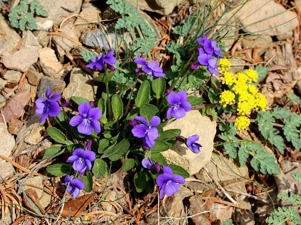 Hookedspur Violet (Viola Adunca) https://www.sagebud.com/hookedspur-violet-viola-adunca/