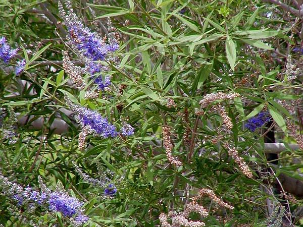 Lilac Chastetree (Vitex Agnus-Castus) https://www.sagebud.com/lilac-chastetree-vitex-agnus-castus/