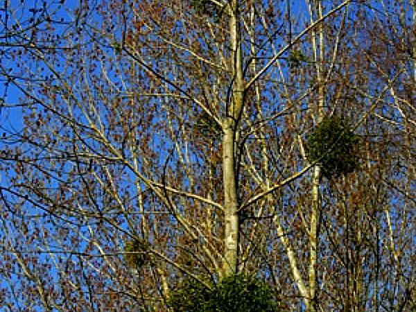 European Mistletoe (Viscum Album) https://www.sagebud.com/european-mistletoe-viscum-album
