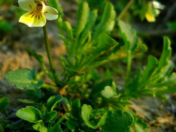 European Field Pansy (Viola Arvensis) https://www.sagebud.com/european-field-pansy-viola-arvensis