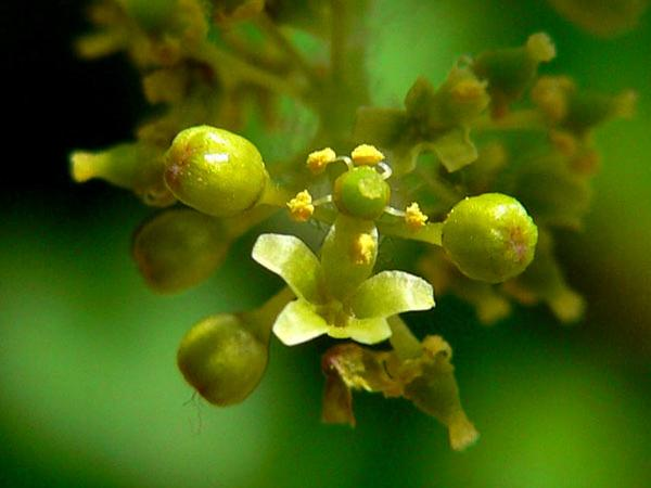 Canyon Grape (Vitis Arizonica) https://www.sagebud.com/canyon-grape-vitis-arizonica