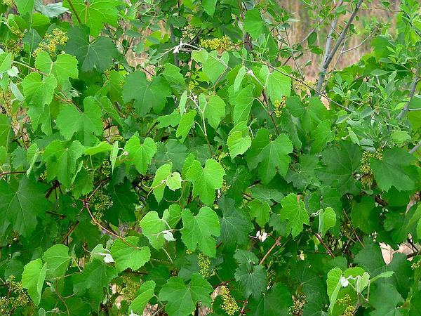 Canyon Grape (Vitis Arizonica) https://www.sagebud.com/canyon-grape-vitis-arizonica