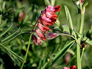 Reddish Tufted Vetch