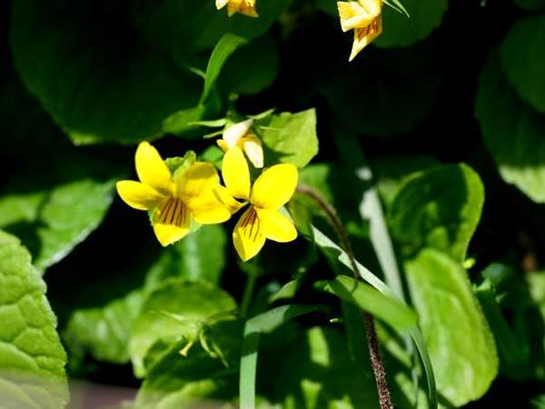 Arctic Yellow Violet (Viola Biflora) https://www.sagebud.com/arctic-yellow-violet-viola-biflora
