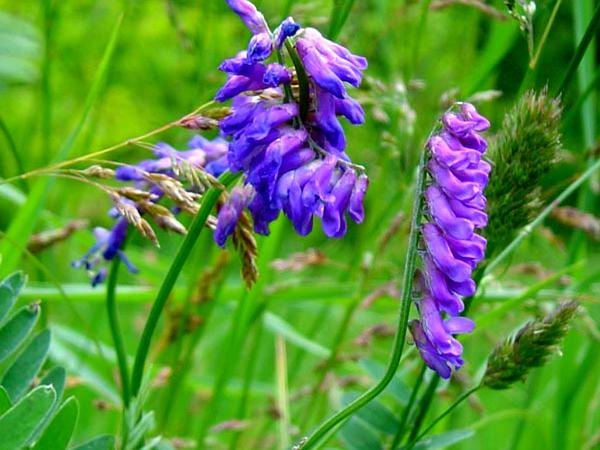 Bird Vetch (Vicia Cracca) https://www.sagebud.com/bird-vetch-vicia-cracca