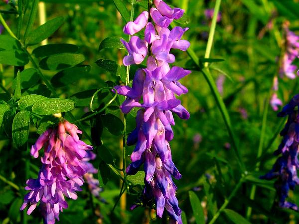 Bird Vetch (Vicia Cracca) https://www.sagebud.com/bird-vetch-vicia-cracca/
