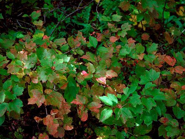 Squashberry (Viburnum Edule) https://www.sagebud.com/squashberry-viburnum-edule