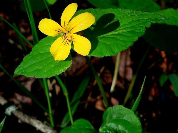 Pioneer Violet (Viola Glabella) https://www.sagebud.com/pioneer-violet-viola-glabella