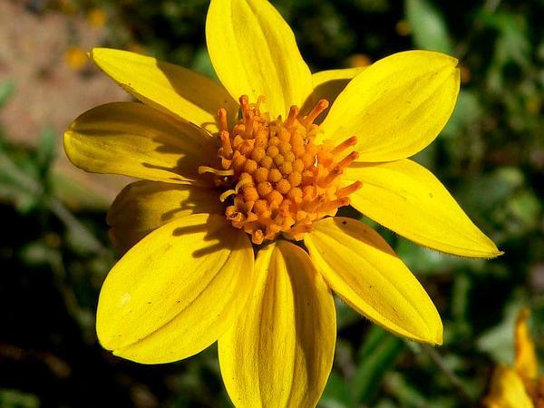 Goldeneye (Viguiera) https://www.sagebud.com/goldeneye-viguiera