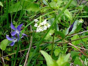 Herbaceous Periwinkle