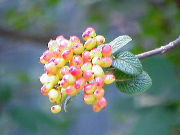 Wayfaringtree (Viburnum Lantana) https://www.sagebud.com/wayfaringtree-viburnum-lantana