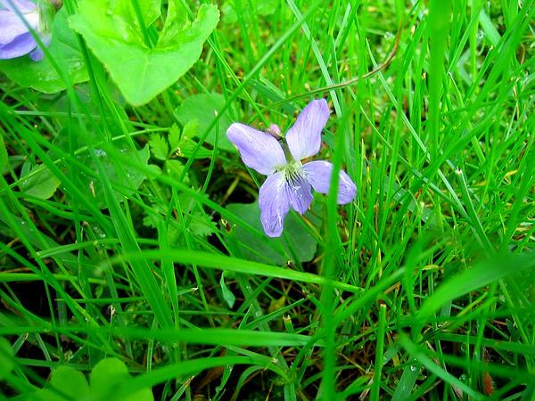 Alpine Violet (Viola Labradorica) https://www.sagebud.com/alpine-violet-viola-labradorica