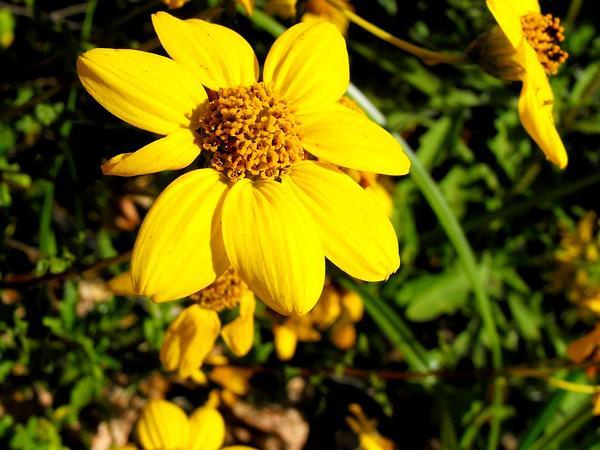 Torhleaf Goldeneye (Viguiera Laciniata) https://www.sagebud.com/torhleaf-goldeneye-viguiera-laciniata