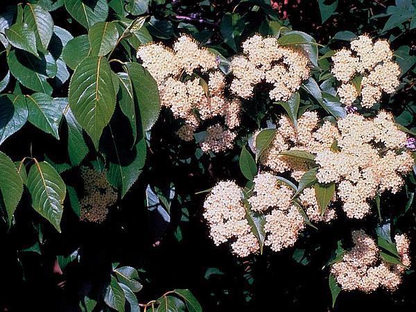 Nannyberry (Viburnum Lentago) https://www.sagebud.com/nannyberry-viburnum-lentago/