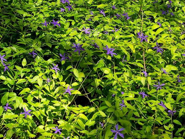 Bigleaf Periwinkle (Vinca Major) https://www.sagebud.com/bigleaf-periwinkle-vinca-major