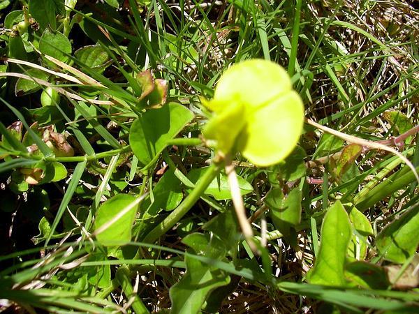 Notched Cowpea (Vigna Marina) https://www.sagebud.com/notched-cowpea-vigna-marina